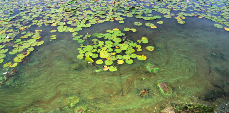 Harmful algal blooms (HABs) have forced the beaches of Lake Mohegan to be closed.
