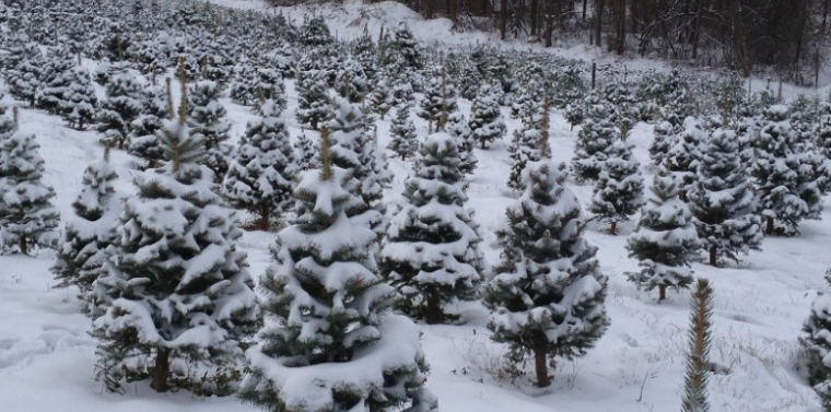 How Long Does It Take A Christmas Tree To Grow.Ritchie 125 000 To Grow Local Christmas Tree Farms Ny